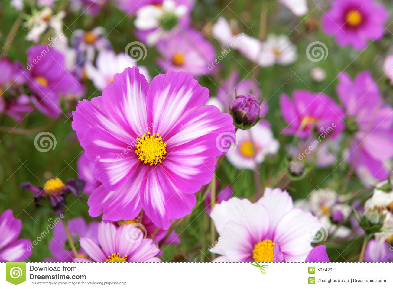 Cosmos Flowers Stock Image Image Of Closeup Flower 59742931