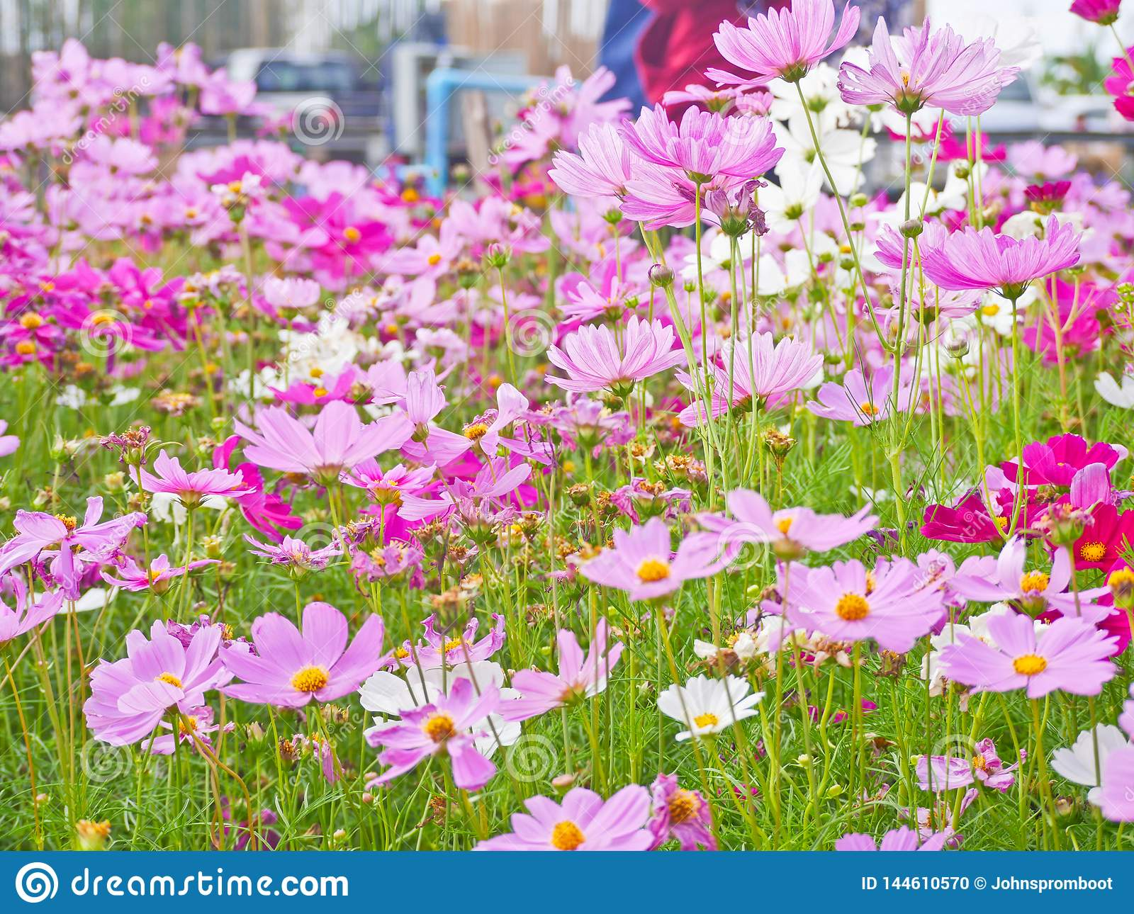 Cosmos flowers in the field  tourist love to see