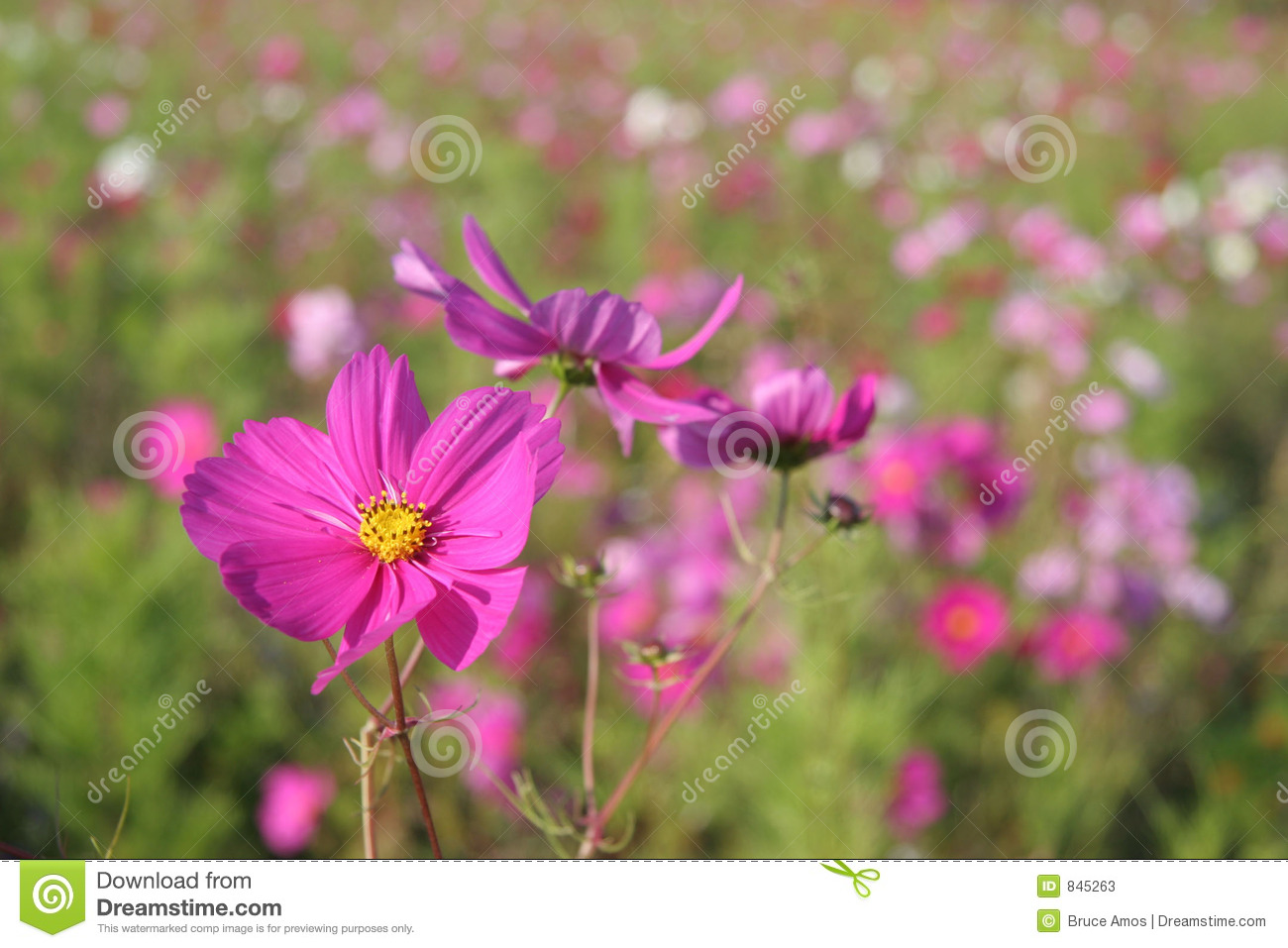 Cosmos flowers in France #5