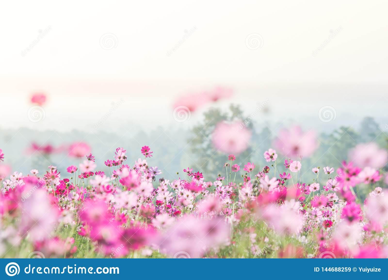 Pink Cosmos flowers field