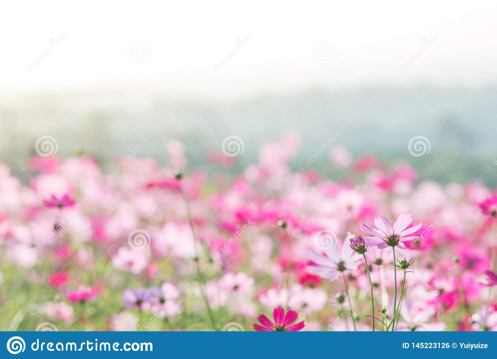 Pink Cosmos flowers field, landscape of flowers.