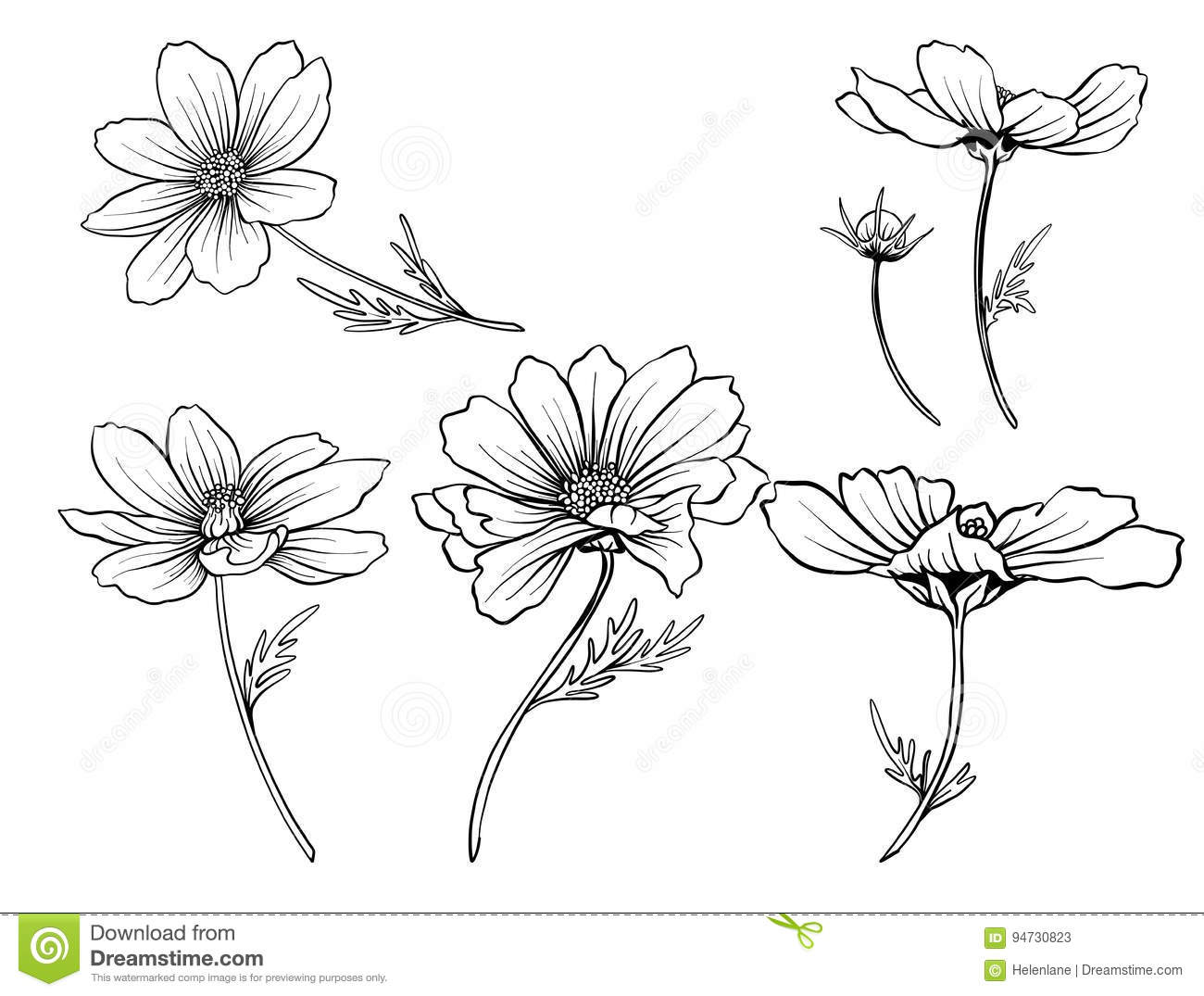 Line Drawing Flower Vector : Cosmos flower drawing pixshark images