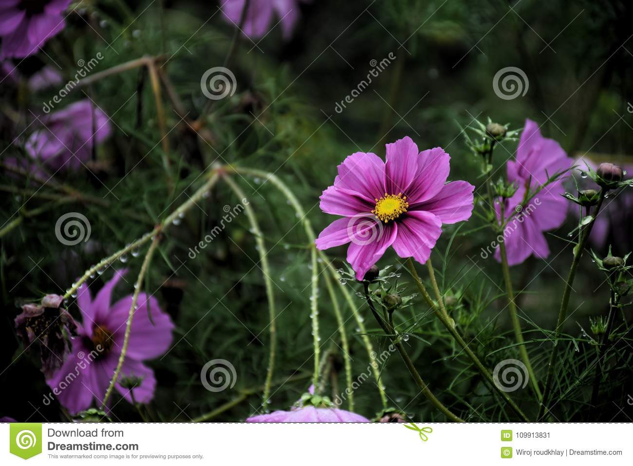 Pink cosmos flower in the garden and black background stock image download pink cosmos flower in the garden and black background stock image image of environment izmirmasajfo