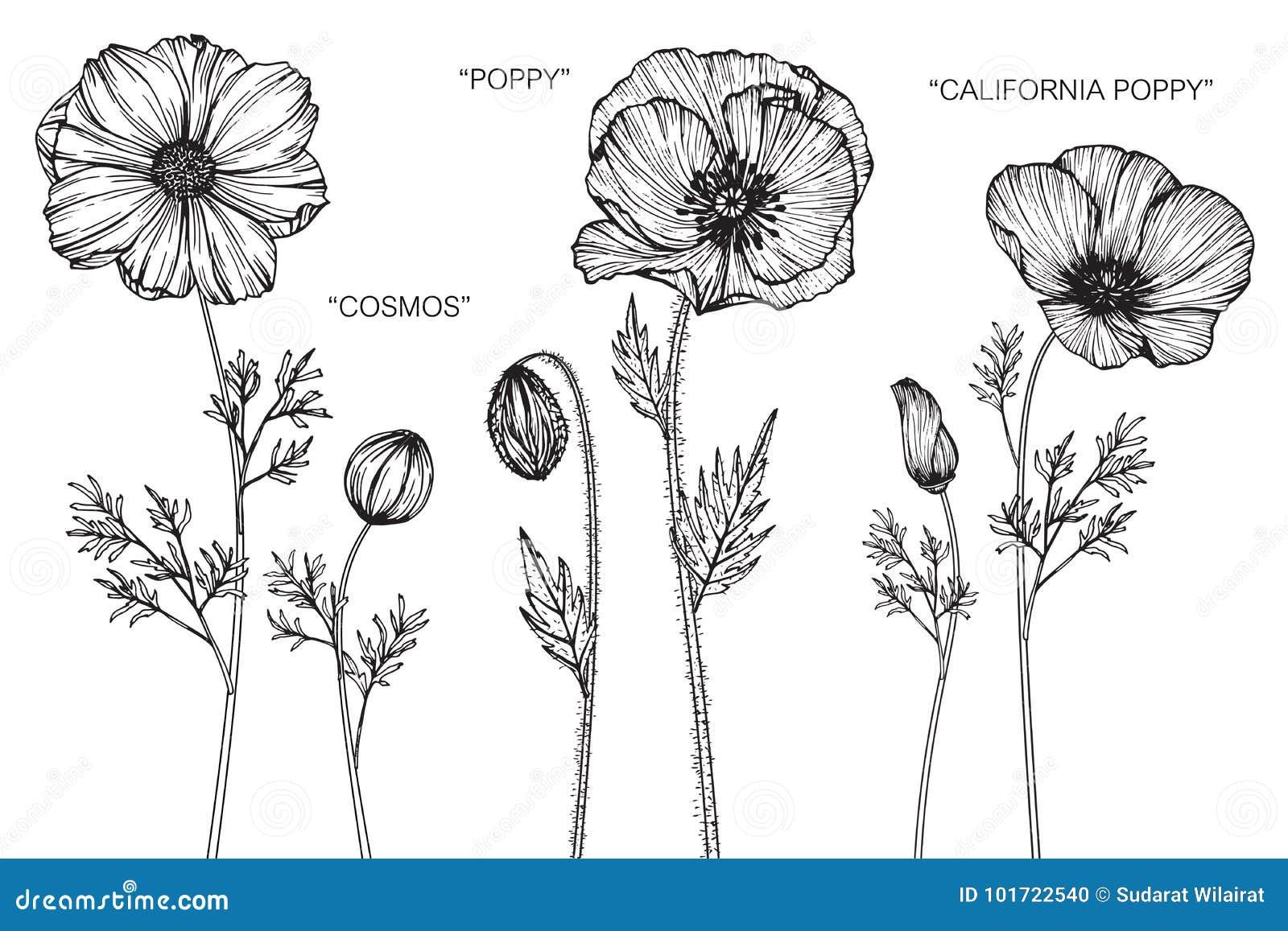Cosmos Poppy California Poppy Flower Drawing And Sketch Stock