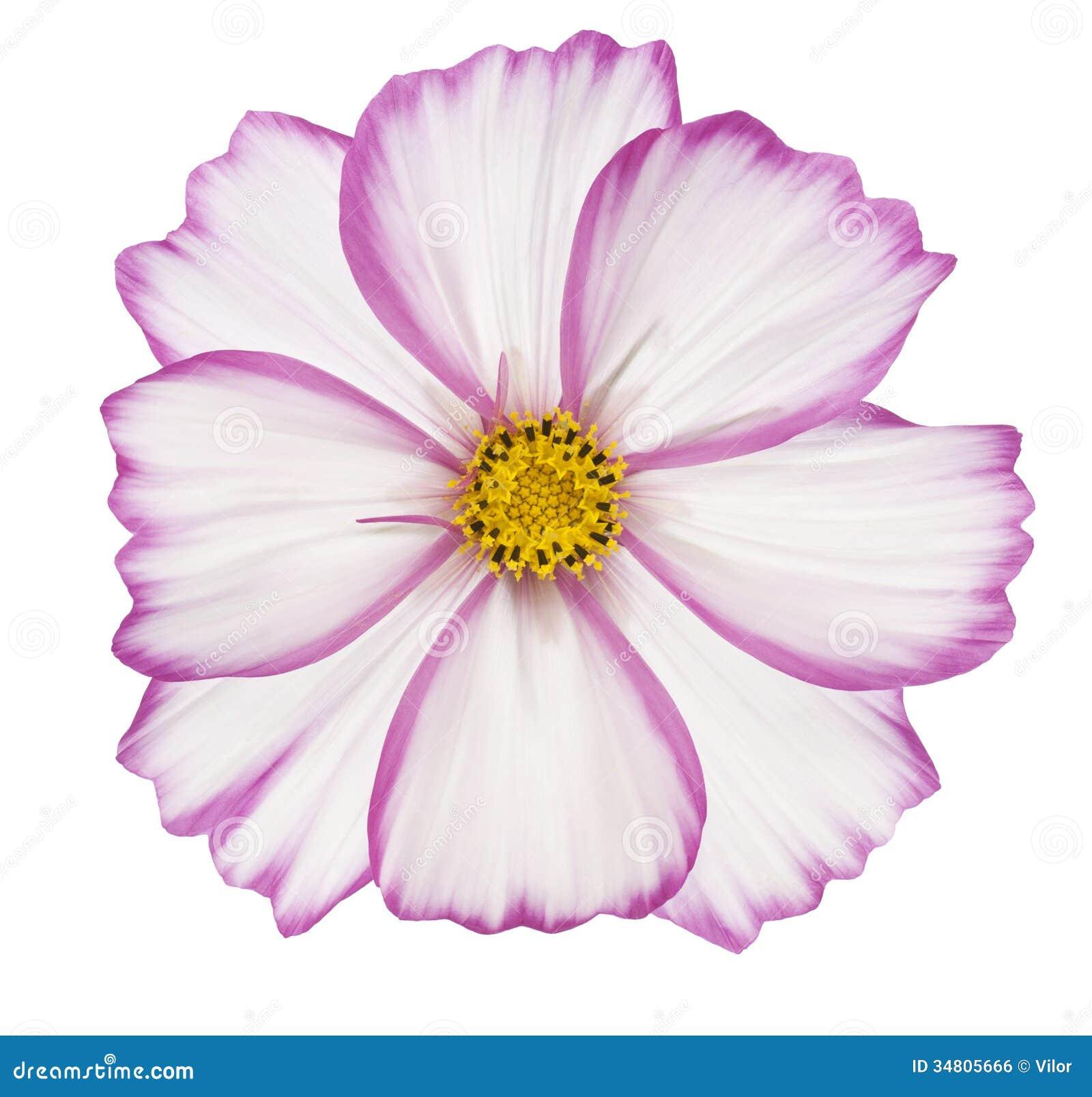 Cosmos Stock Photo Image Of Focus Flower Plant Marguerite 34805666