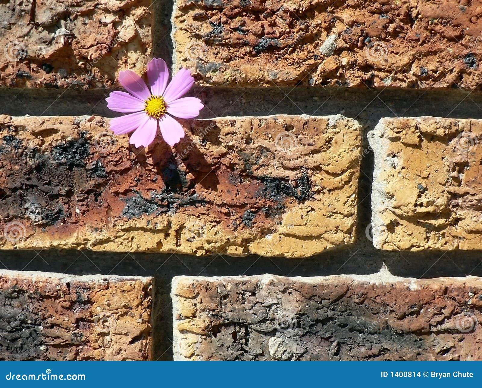 Cosmos sur le mur de briques