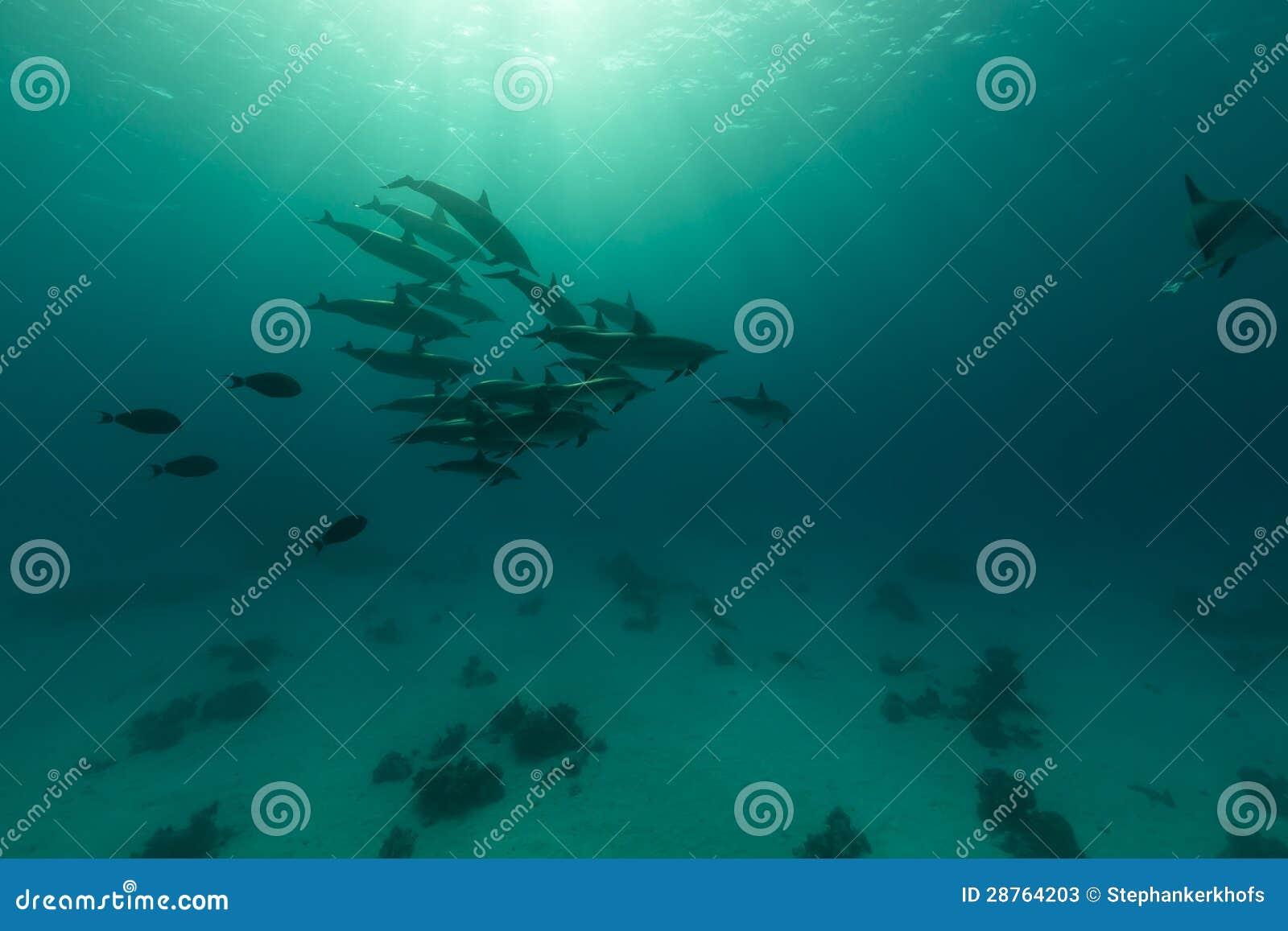 Cosse de dauphin de fileur (longirostris de stenella) en Mer Rouge.
