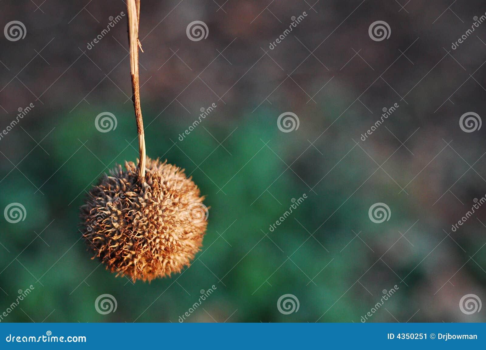 Cosse de graine d arbre plat