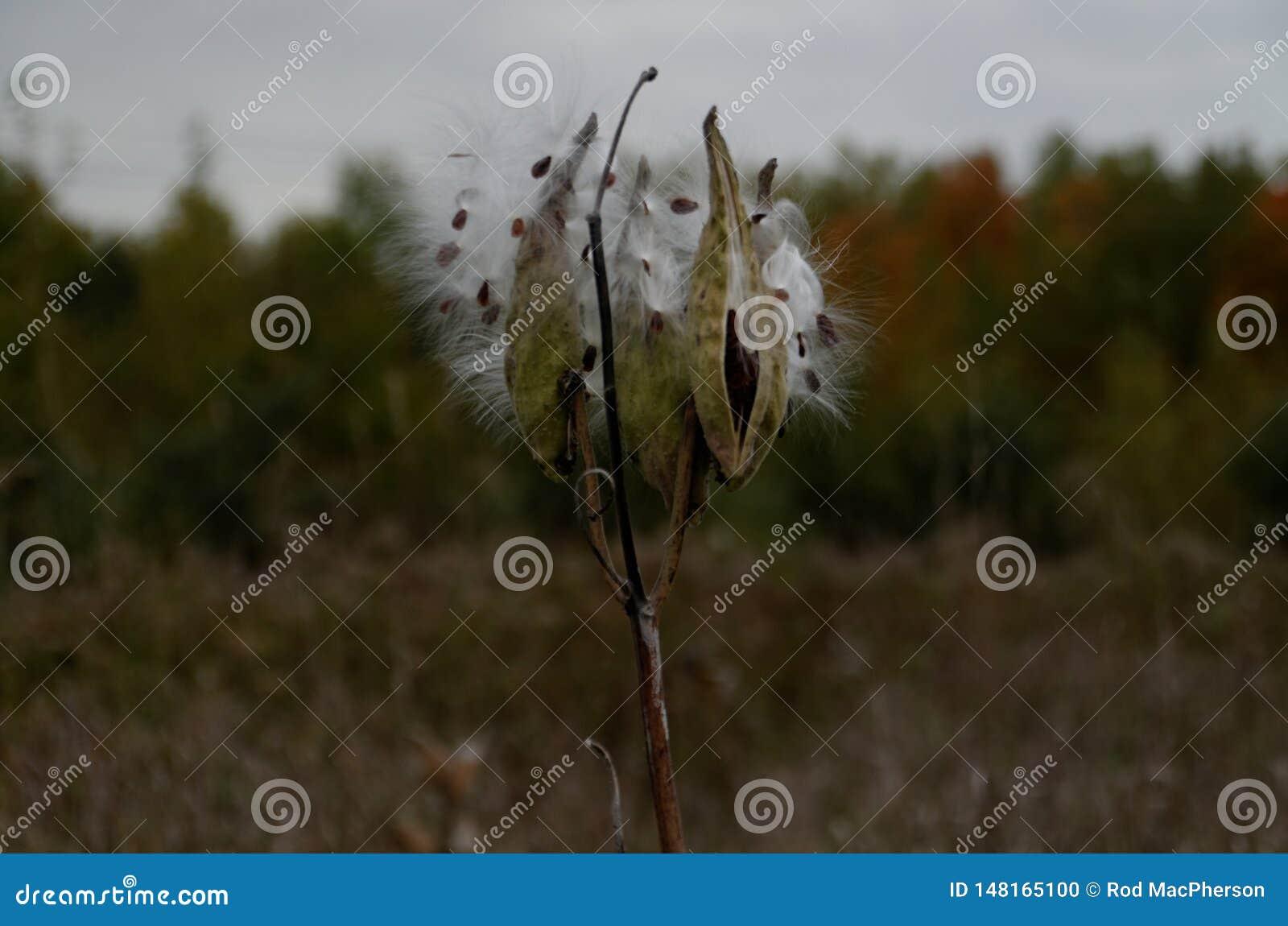 Cosse de graine de Milkweed