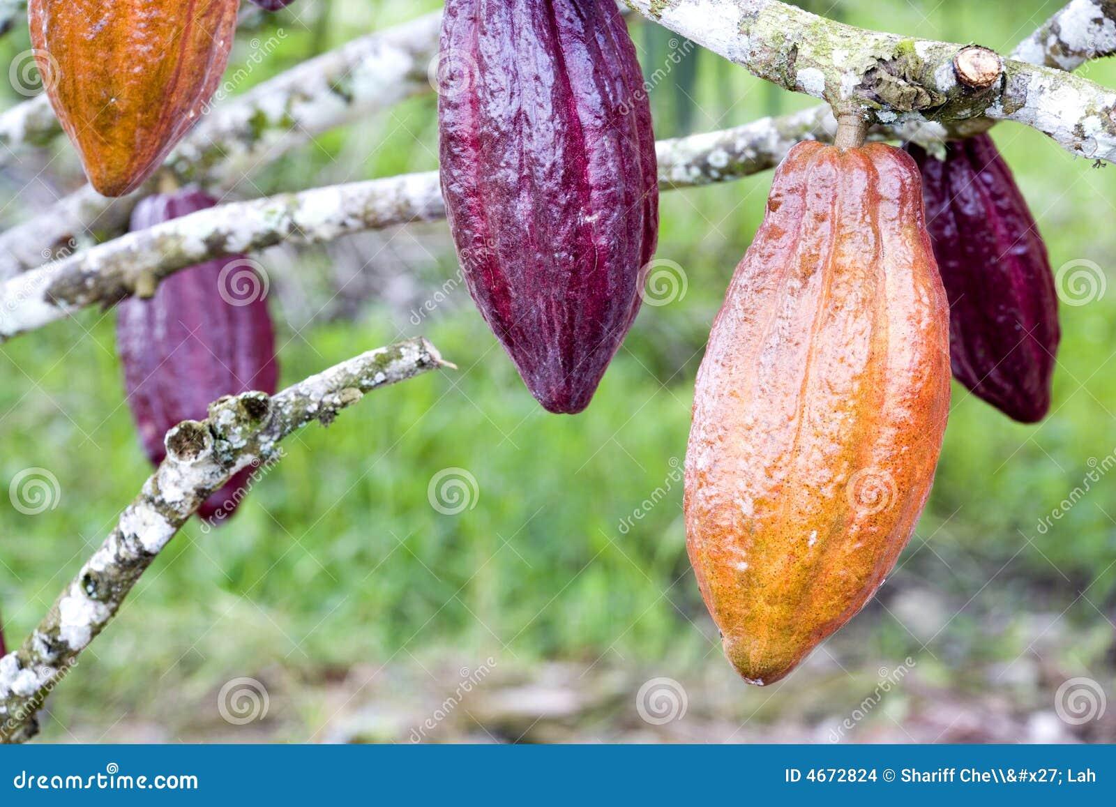 Cosses de cacao