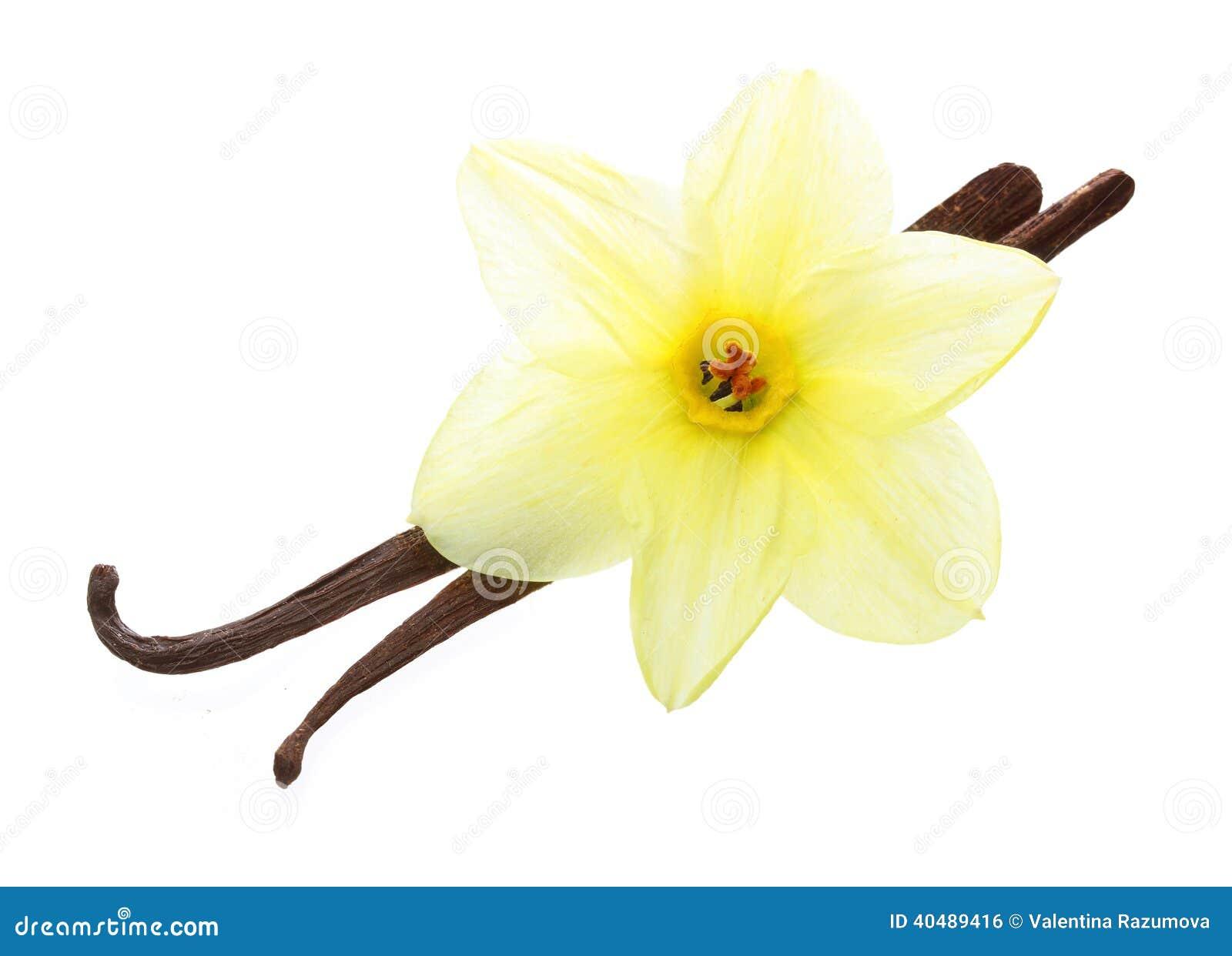 cosses et fleur de vanille photo stock - image: 40489416