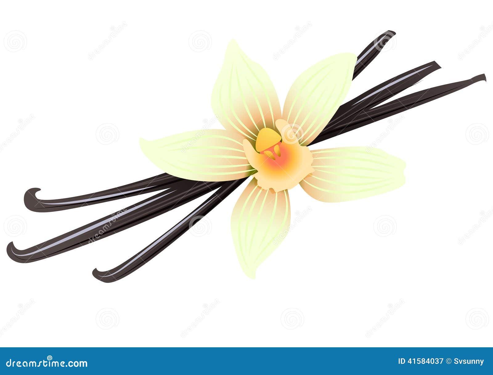 cosses et fleur de vanille illustration de vecteur - image: 41584037