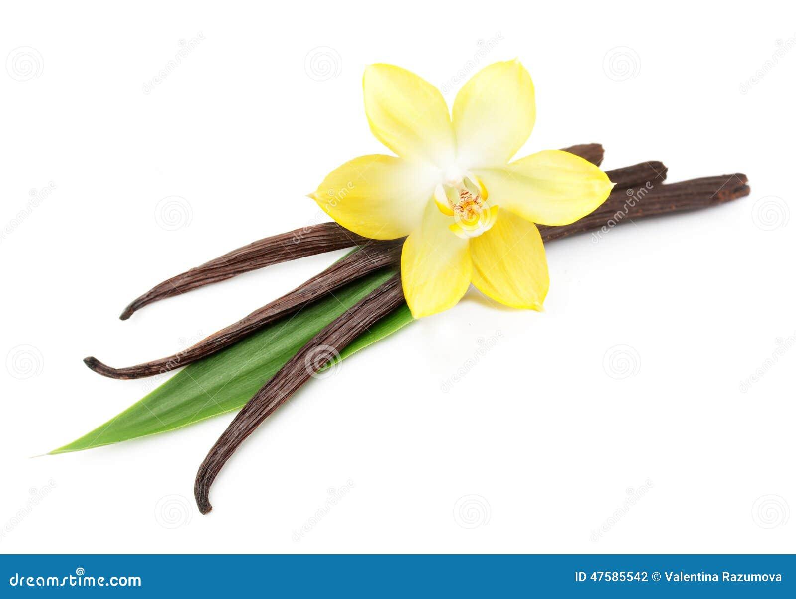 cosses et fleur de vanille d'isolement photo stock - image: 47585542