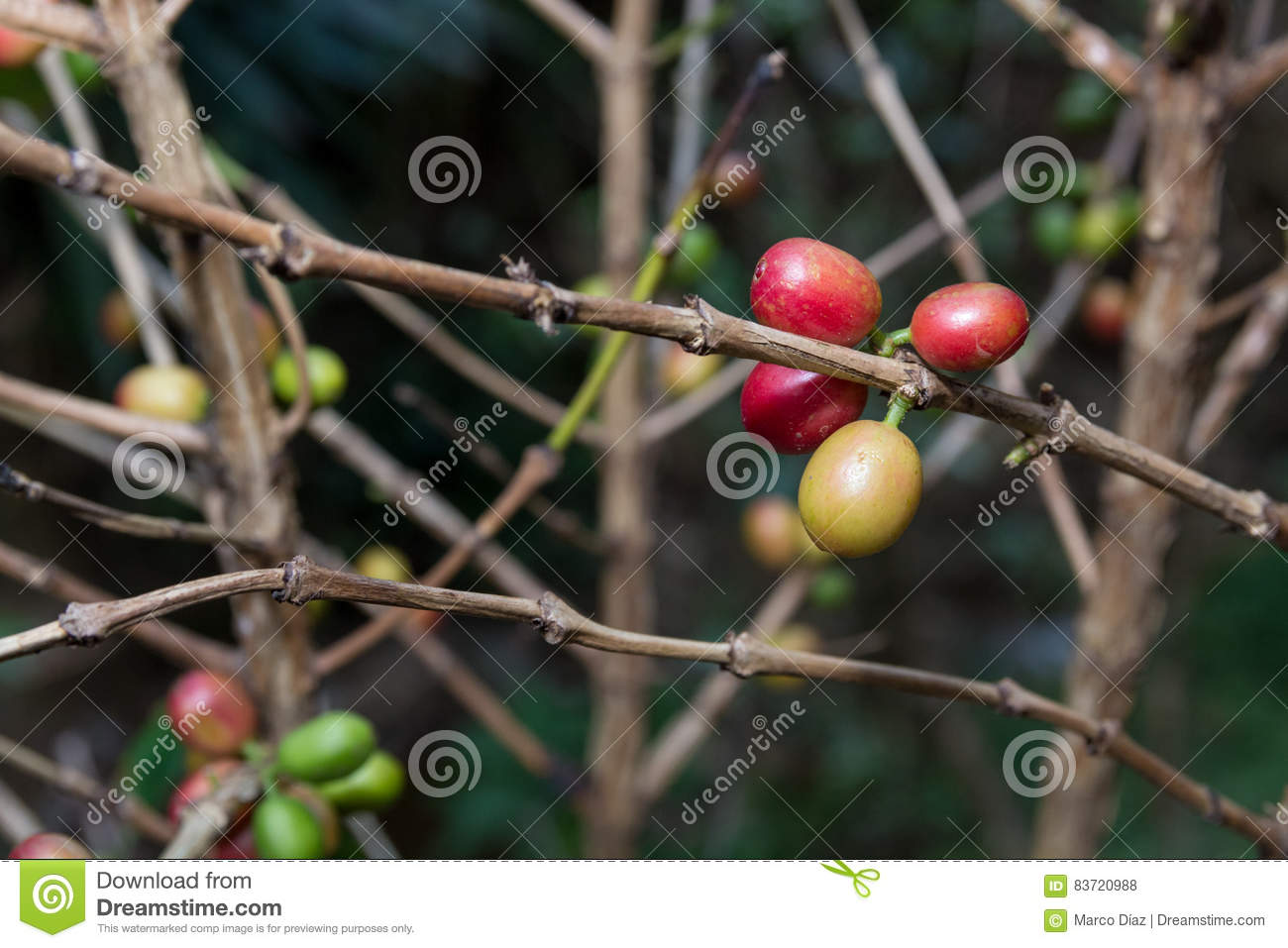 Costa Rica Red And Green Coffee Berries Stock Photo