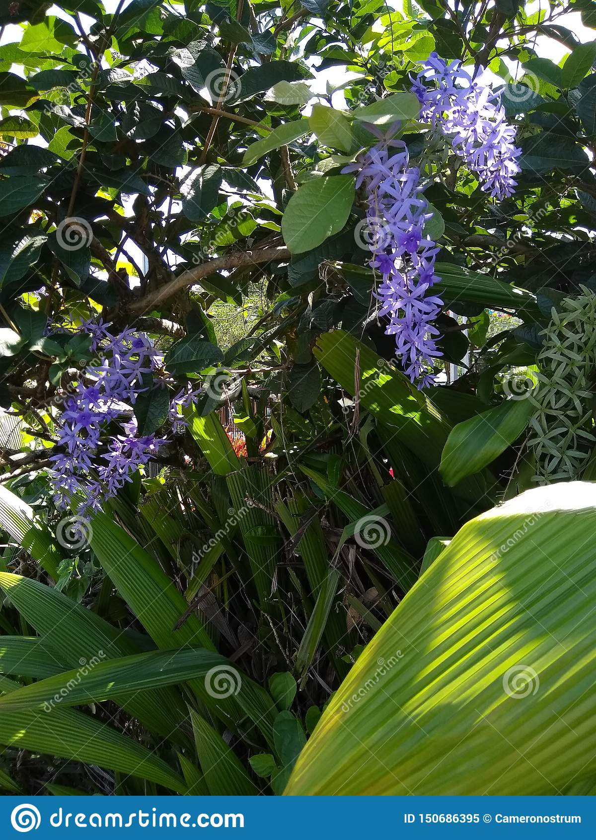 Costa Rican Queen & x27; flores da grinalda de s