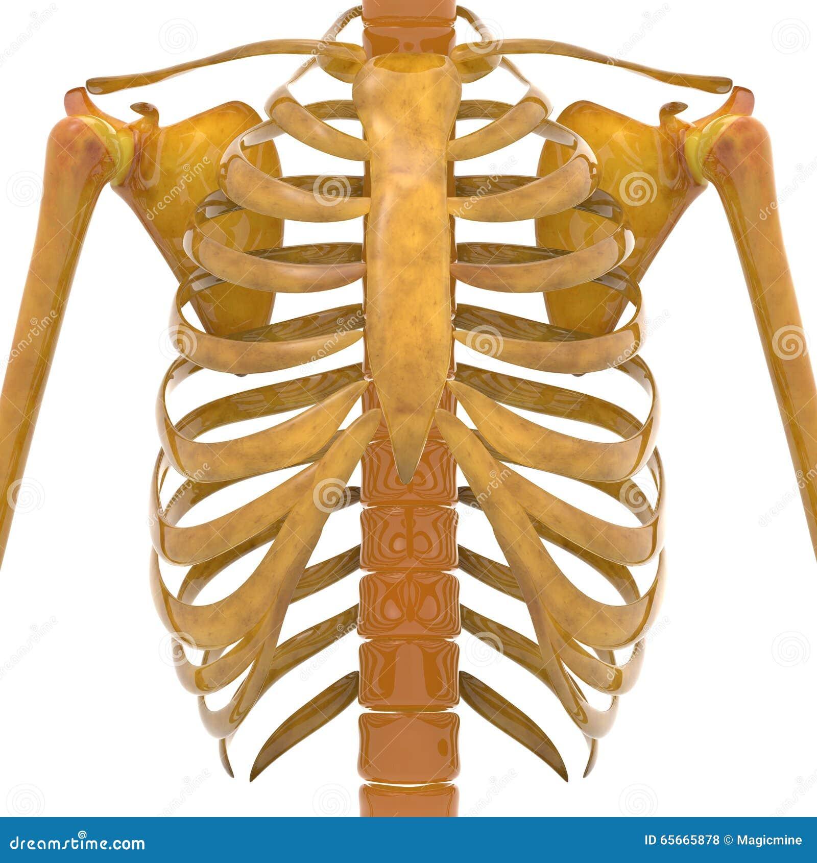 Costillas Humanas Con Los Huesos Del Omóplato Stock de ilustración ...
