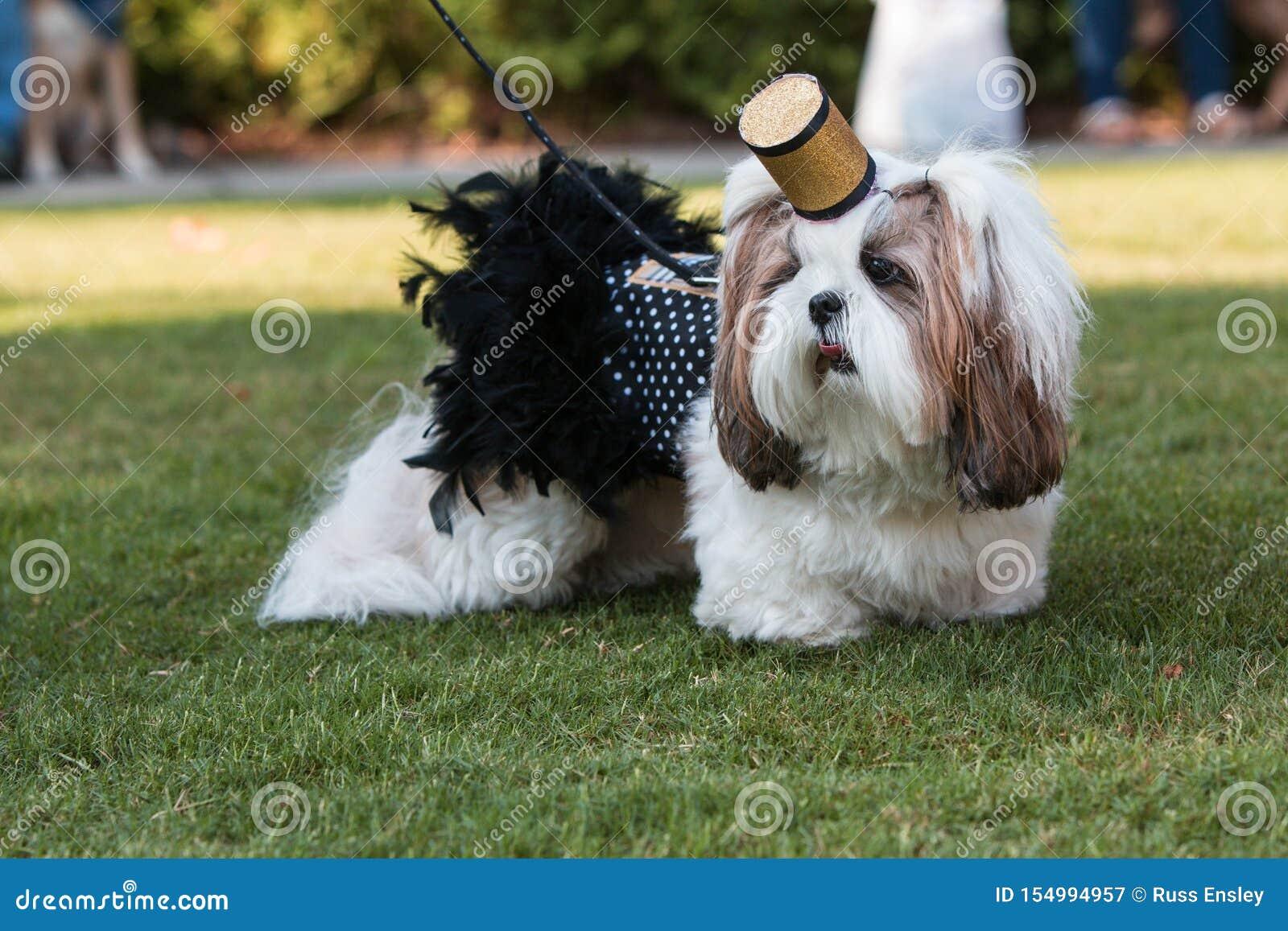 Costume de Shih Tzu Wears Cigarette Girl au défilé d animal familier de festival