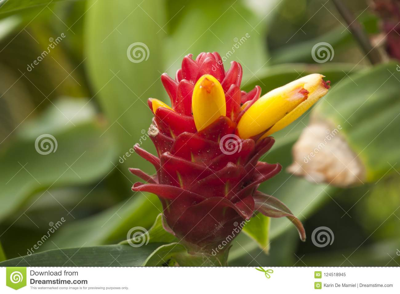 Costus Barbatus With Red Inflorescence And Bright Yellow Tubular