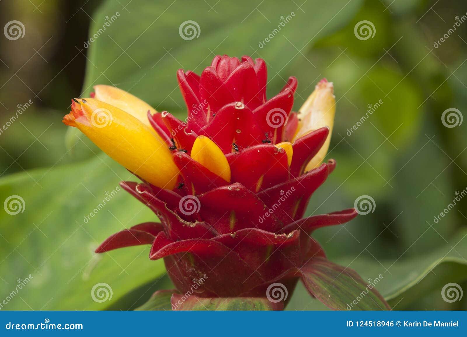 Costus barbatus with red inflorescence and bright yellow tubular autumn in the garden sydney australia mightylinksfo
