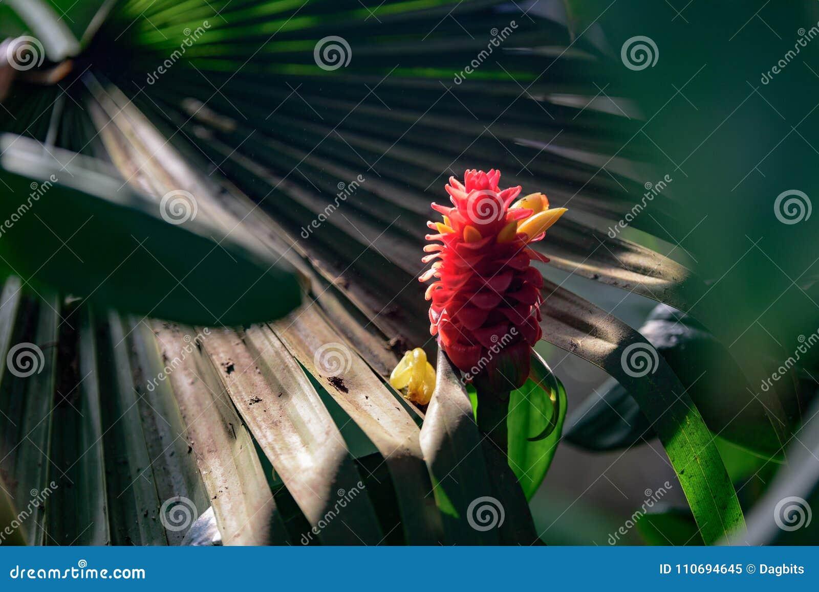 Costus Comosus var Bakeri - planta