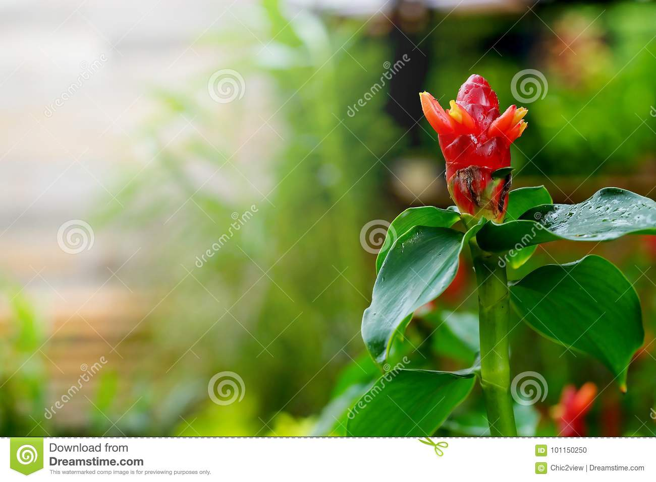 Costus Speciosus, Indian Head Ginger In Green Tropical