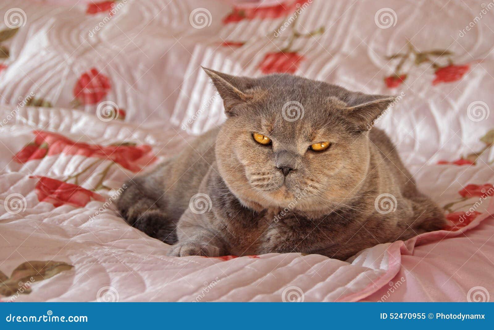 cat bedroom. Royalty Free Stock Photo  Download Cosy Bedroom Pedigree Cat Image 52470955