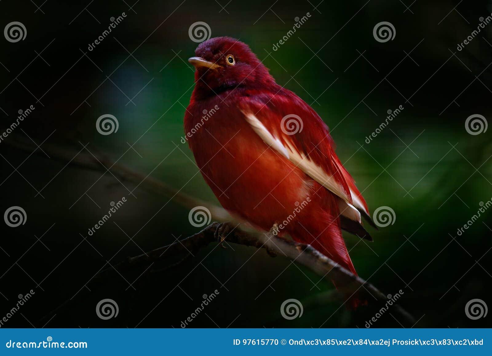 Cotinga de coiffure style Pompadour, punicea de Xipholena, oiseau tropical rare exotique dans l habitat de nature, forêt vert-fon