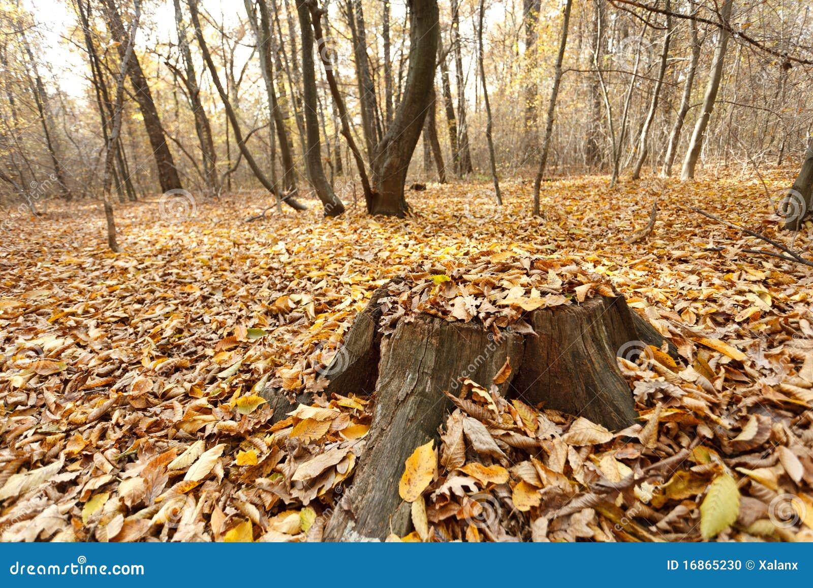 Coto da faia na floresta