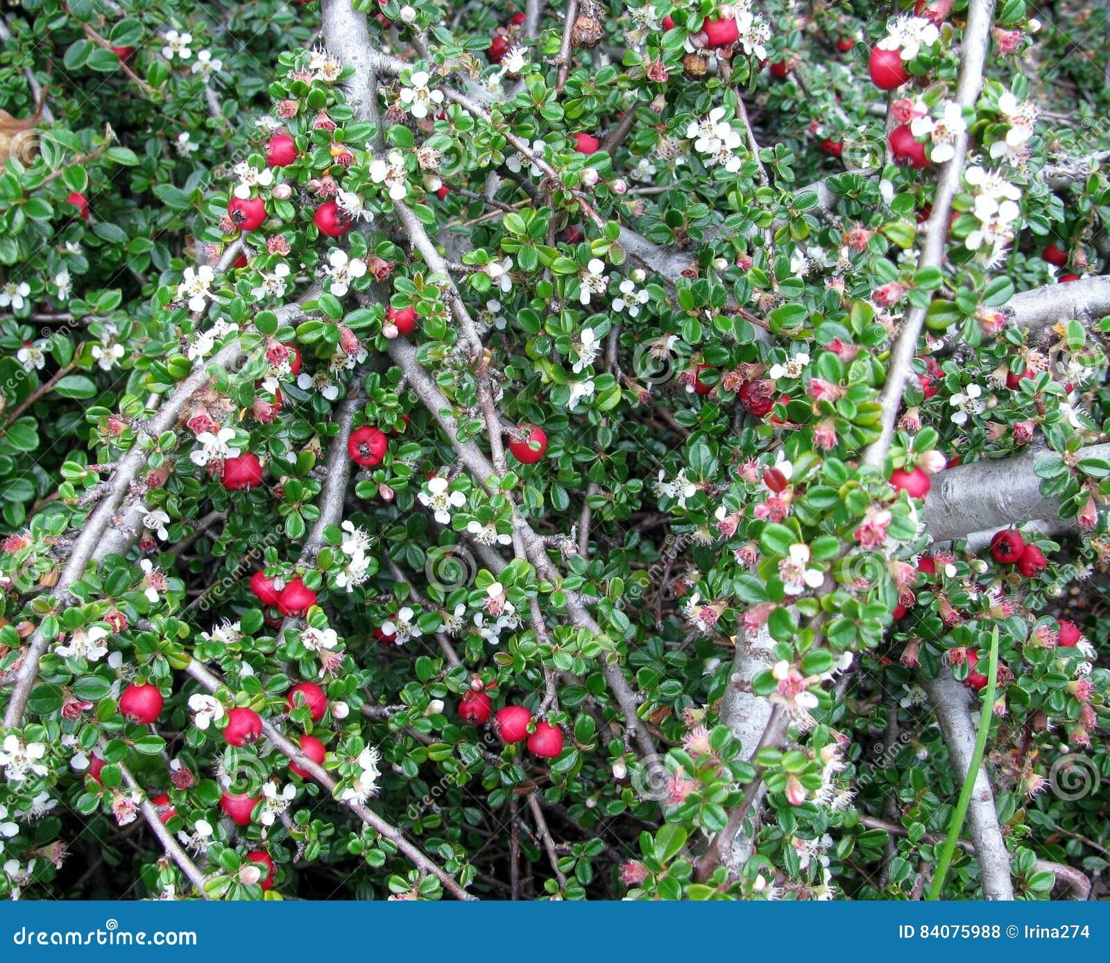 Cotoneaster Dammeri Bush Background Stock Photo Image Of Botany