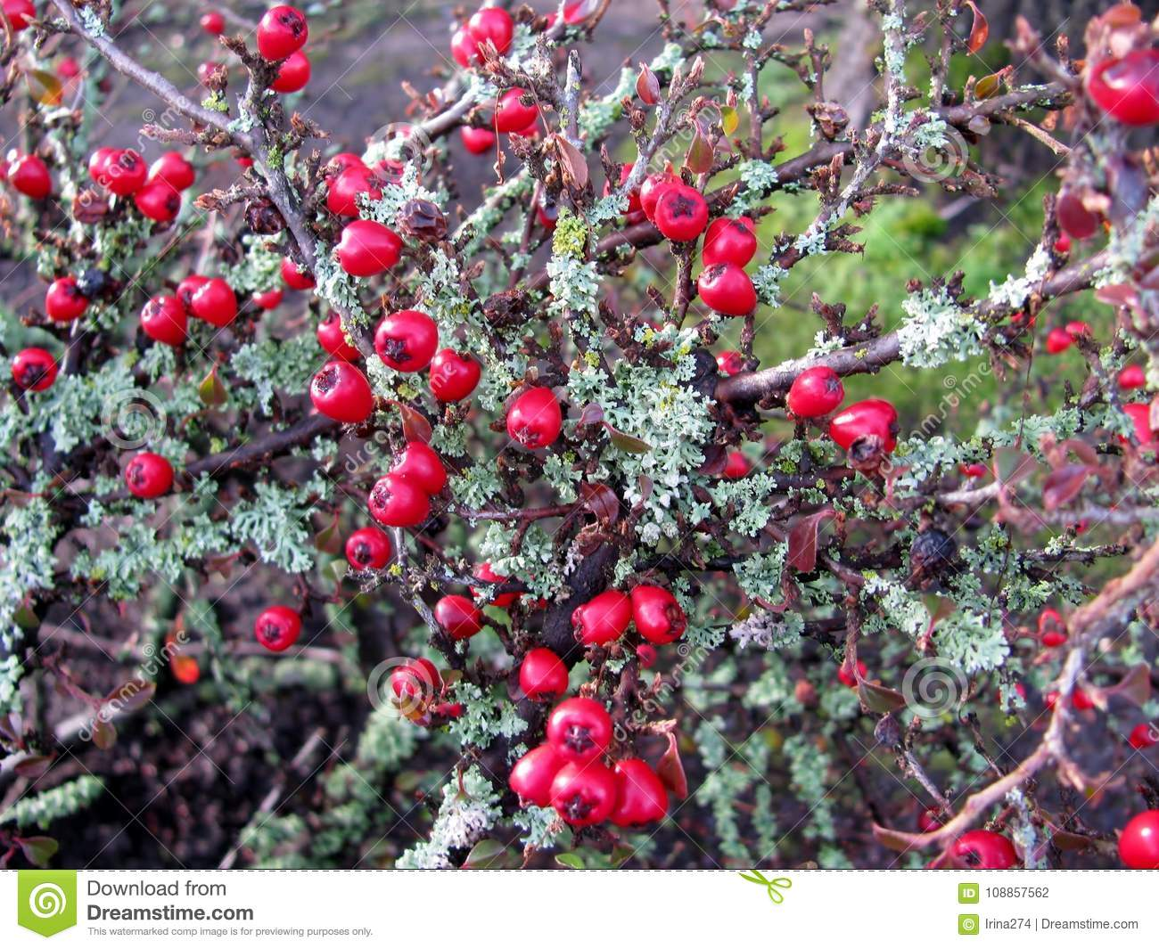 Cotoneaster dammeri red berries and Lichen Moss