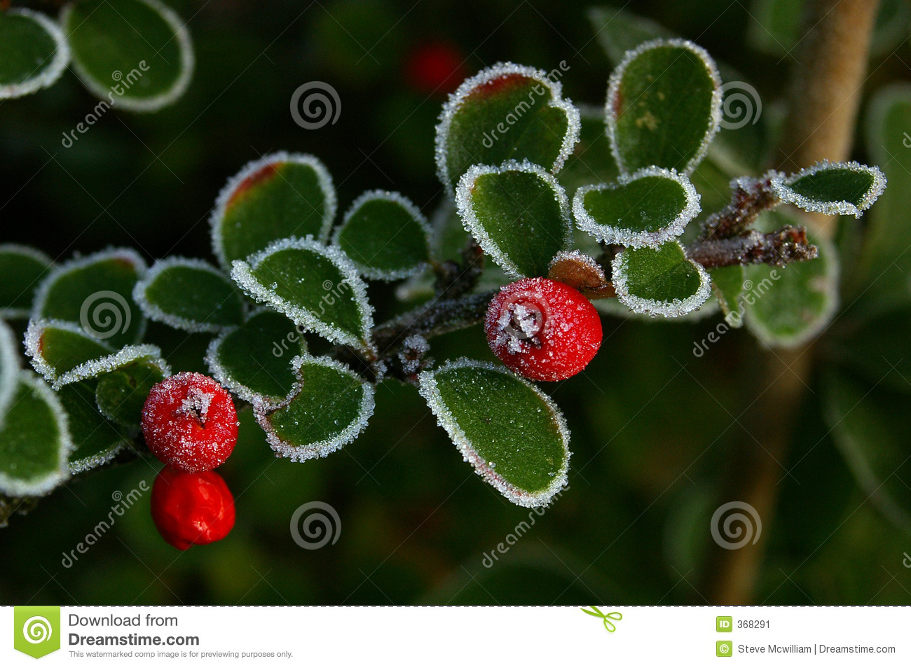 Cotoneaster and Ice 01