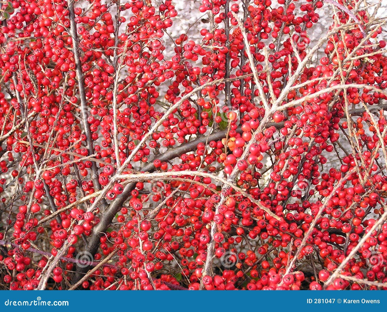 Cotoneasterbär