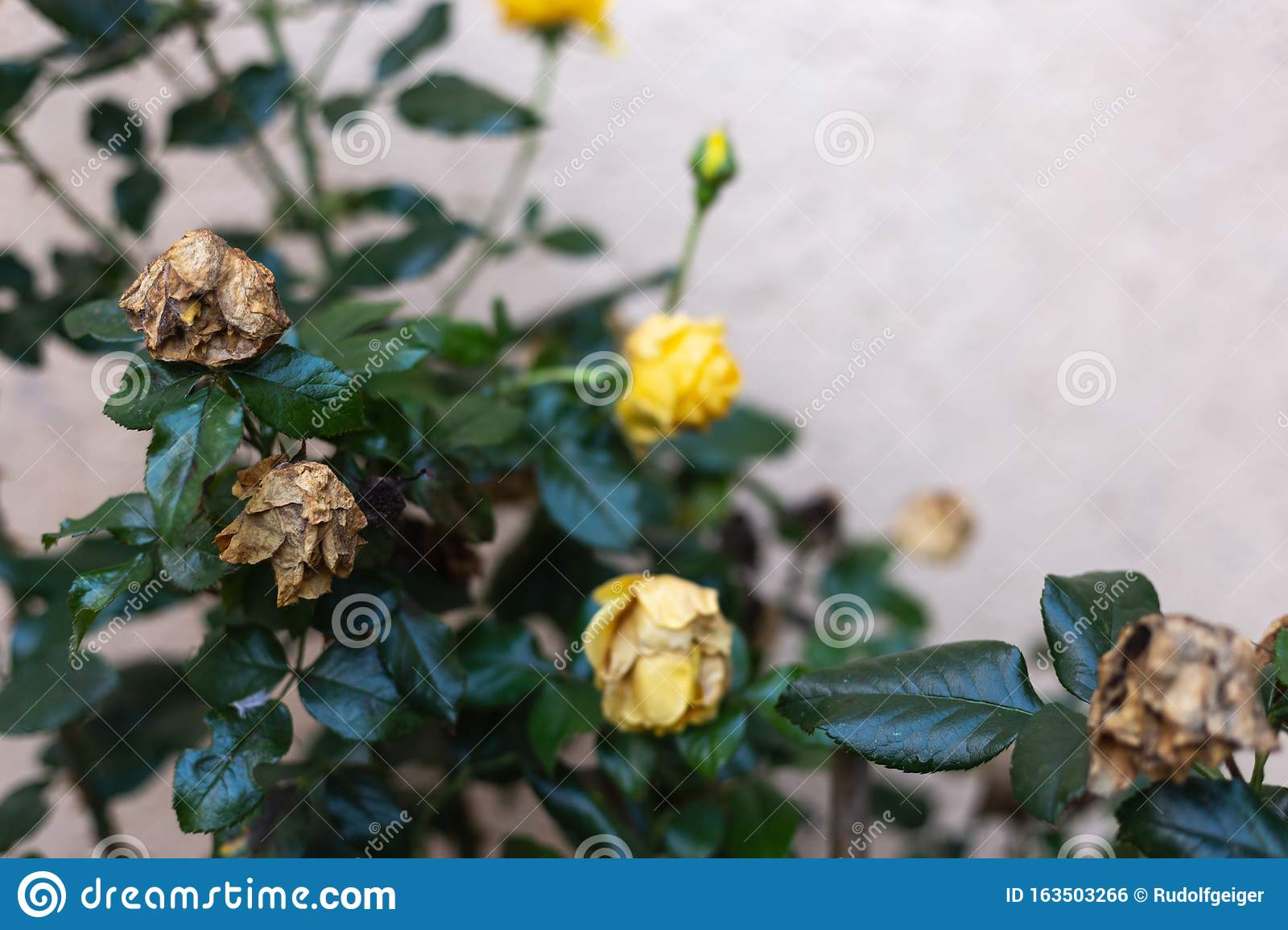 Cottage Garden Roses Flowers In Fall Stock Photo Image Of Green
