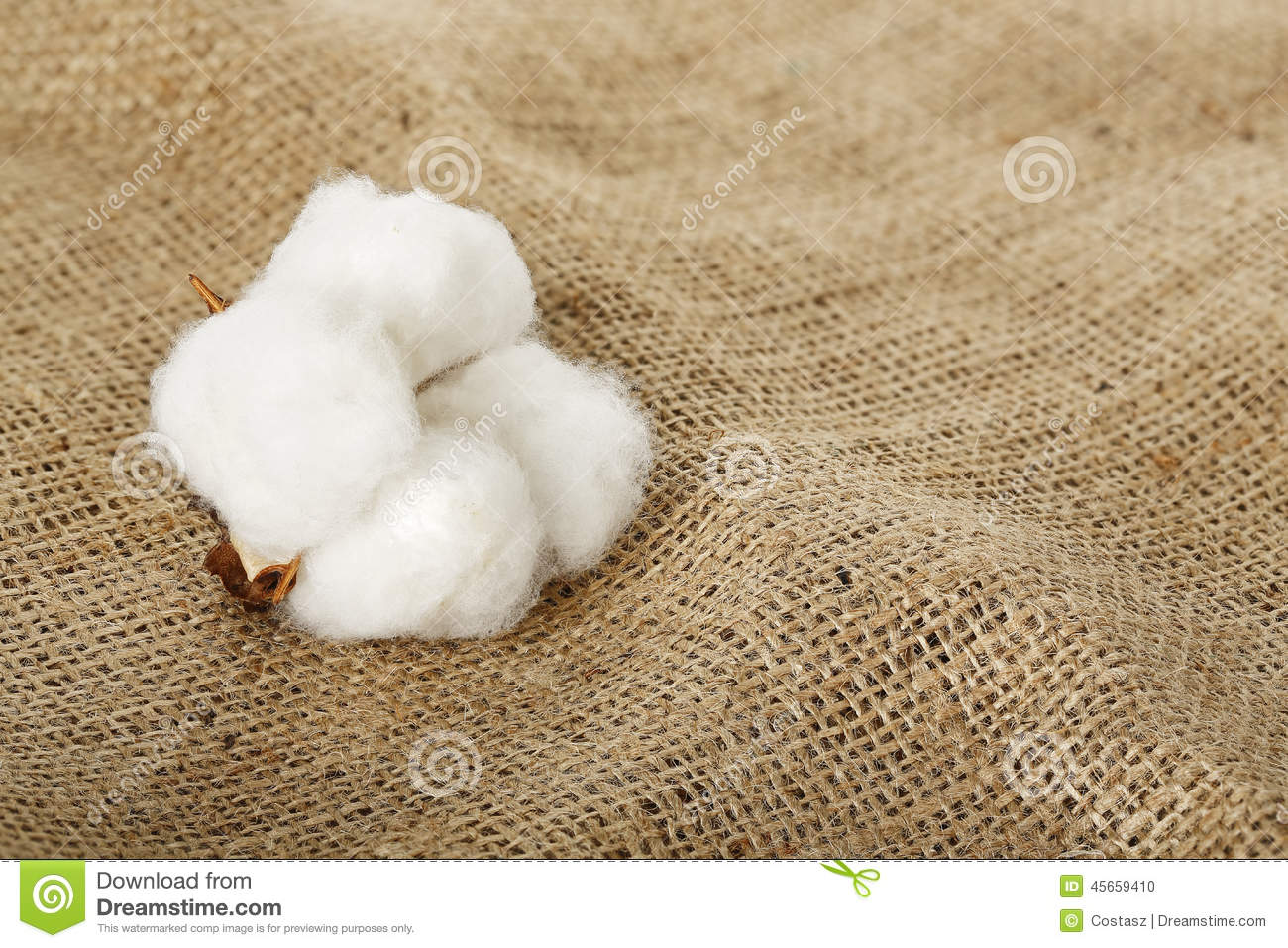 cotton plant divorced singles How a cotton plant grows  a single leaf forms at each node in a spiral arrangement in upland cotton grown in texas, .