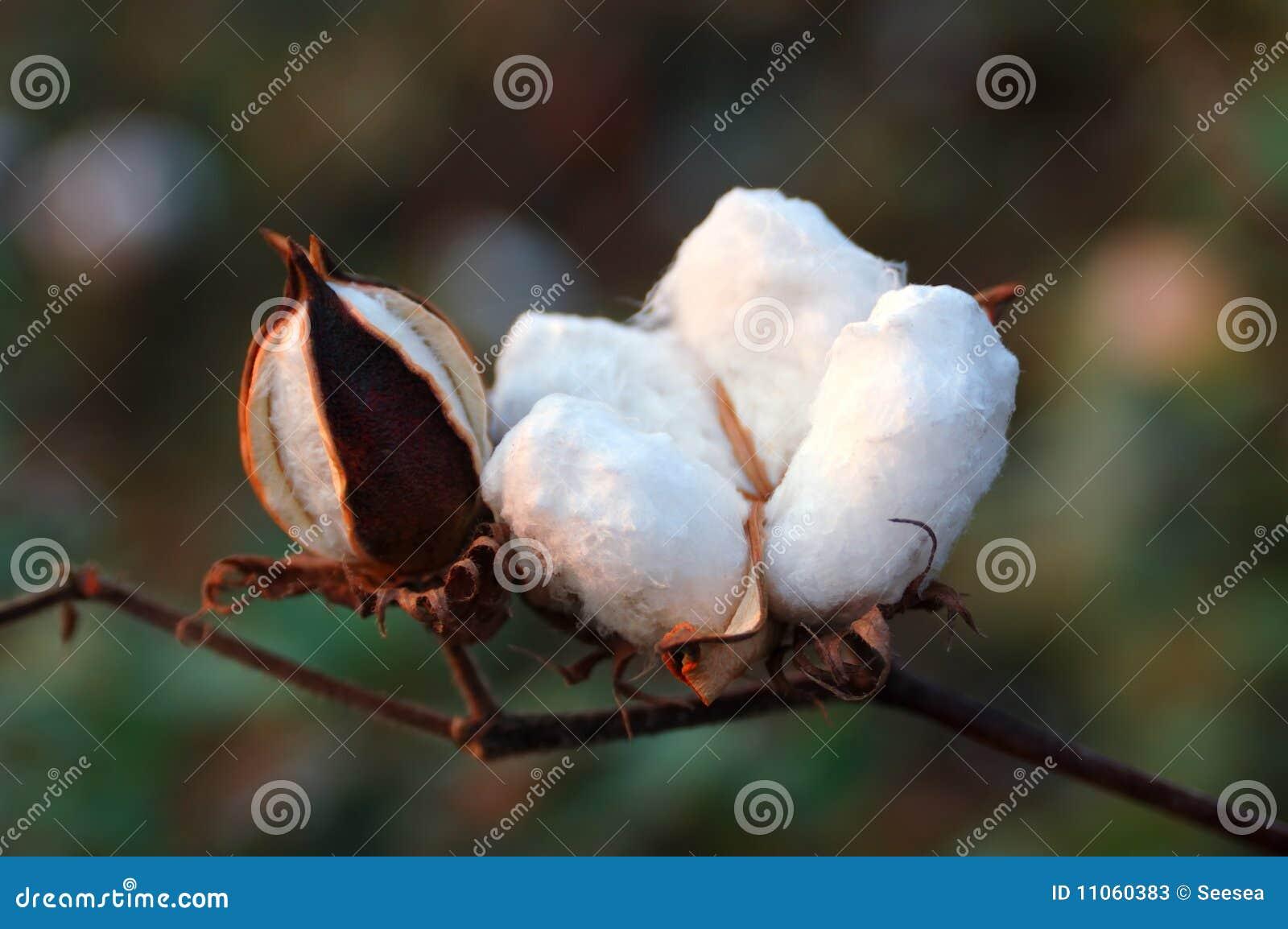 Cotton Boll Stock Photos Image 11060383