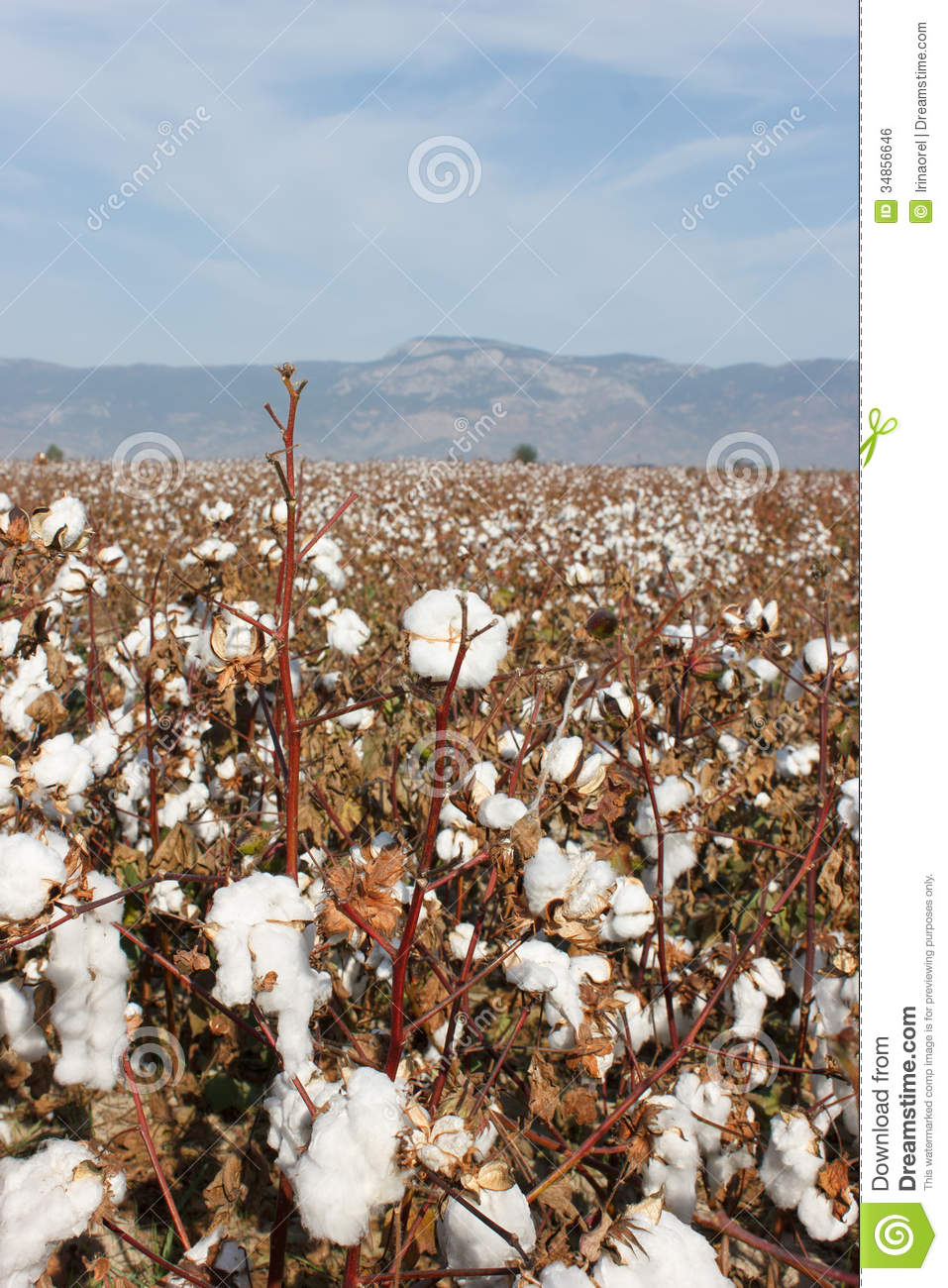 Cotton Field Royalty Free Stock Image Image 34856646