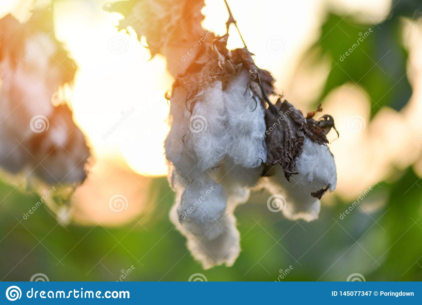 Cotton flower on tree in the cotton field sunset background