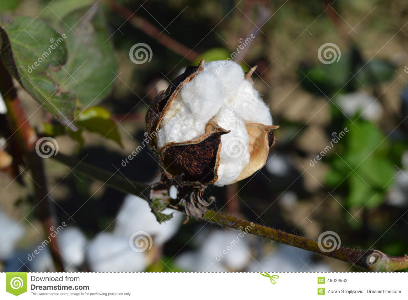 Cotton plant and its different parts - CottonAcres