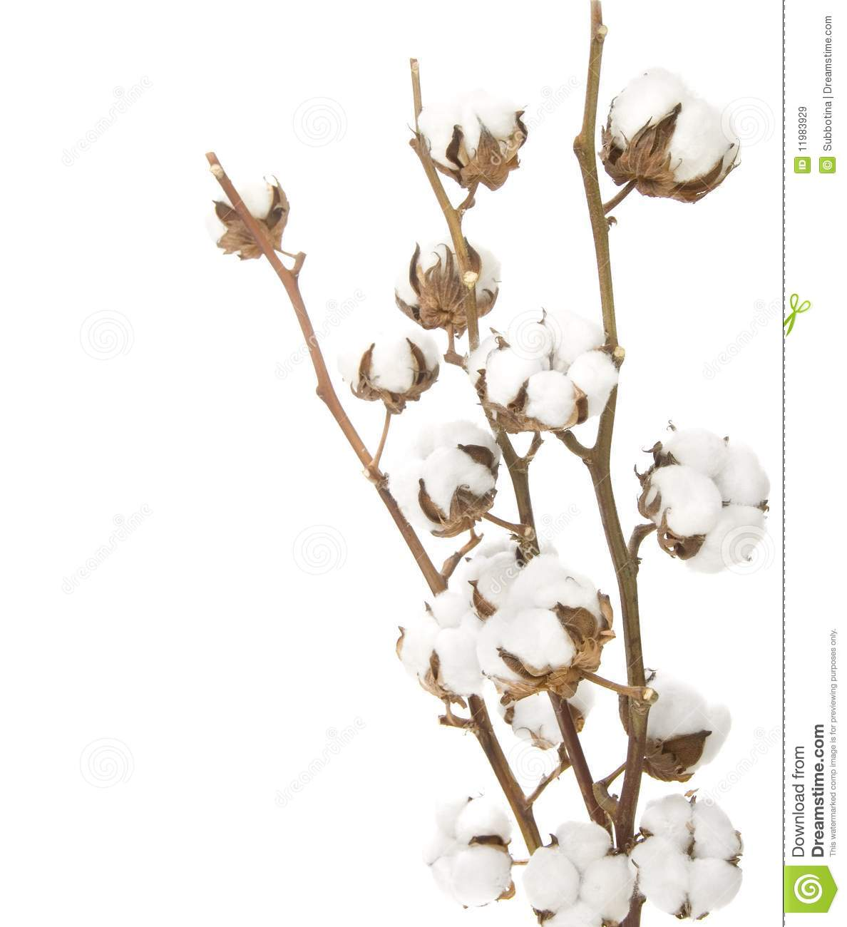 how to grow cotton from seeds on cotton balls
