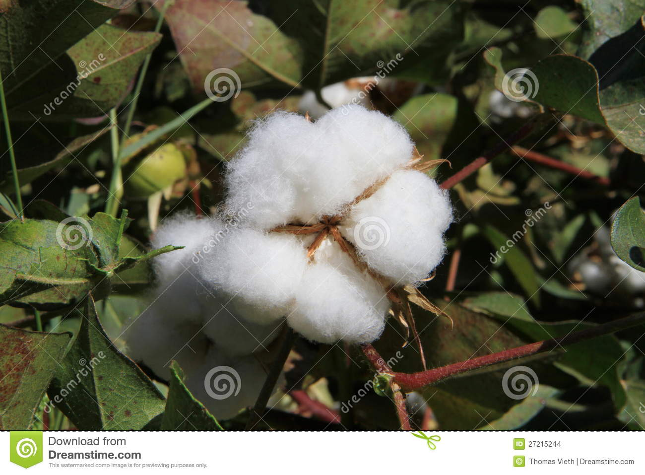 cotton plant men Of the men's clothing made from cotton fibers, 85 percent is made from 100-percent cotton cotton is used to make men's cotton suits, cotton dress shirts, underwear, and men's casual clothing, including jeans and sweatshirts.