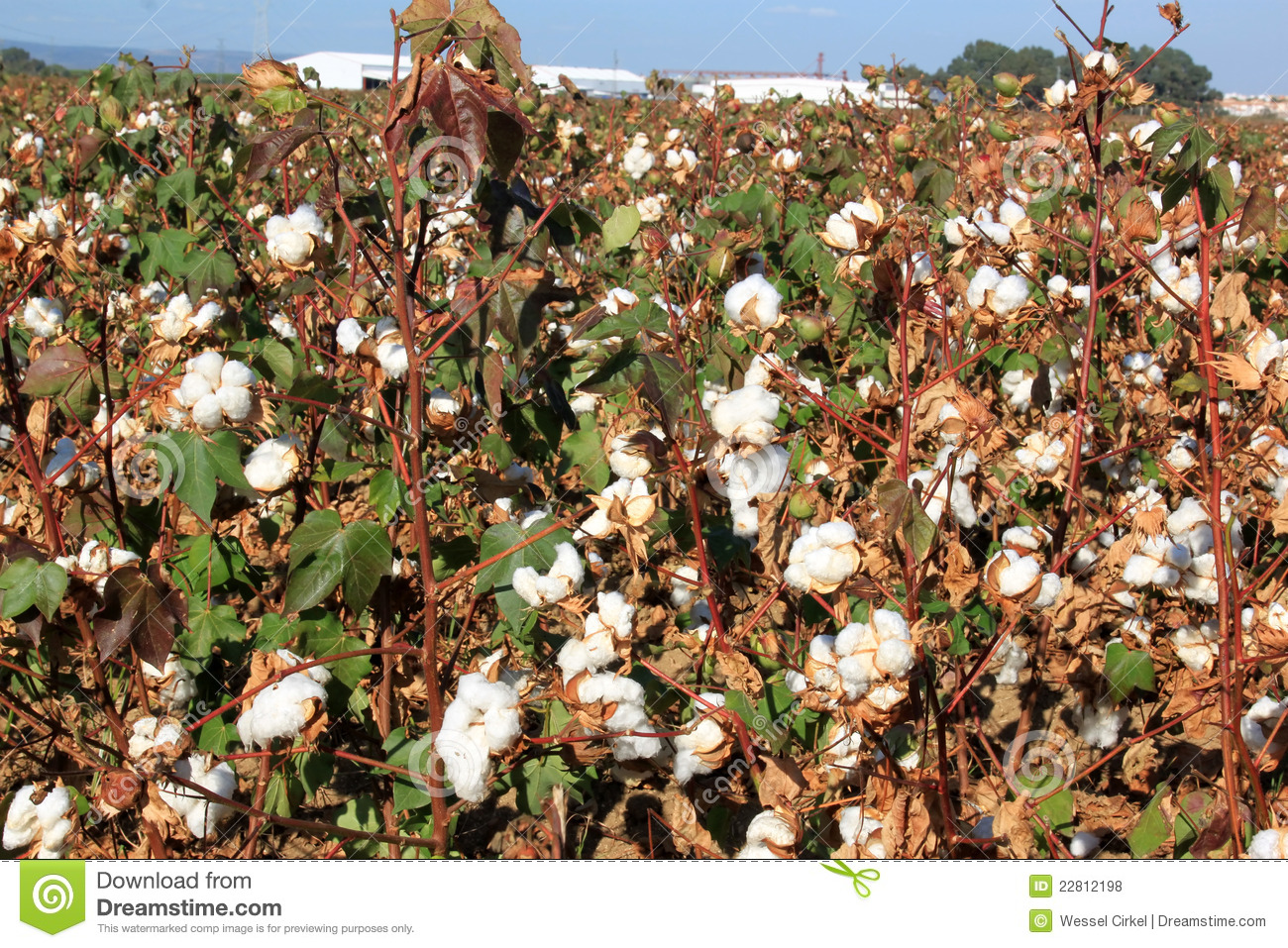 Cotton Plantation Near Seville In Andalusia, Spain Royalty Free ...