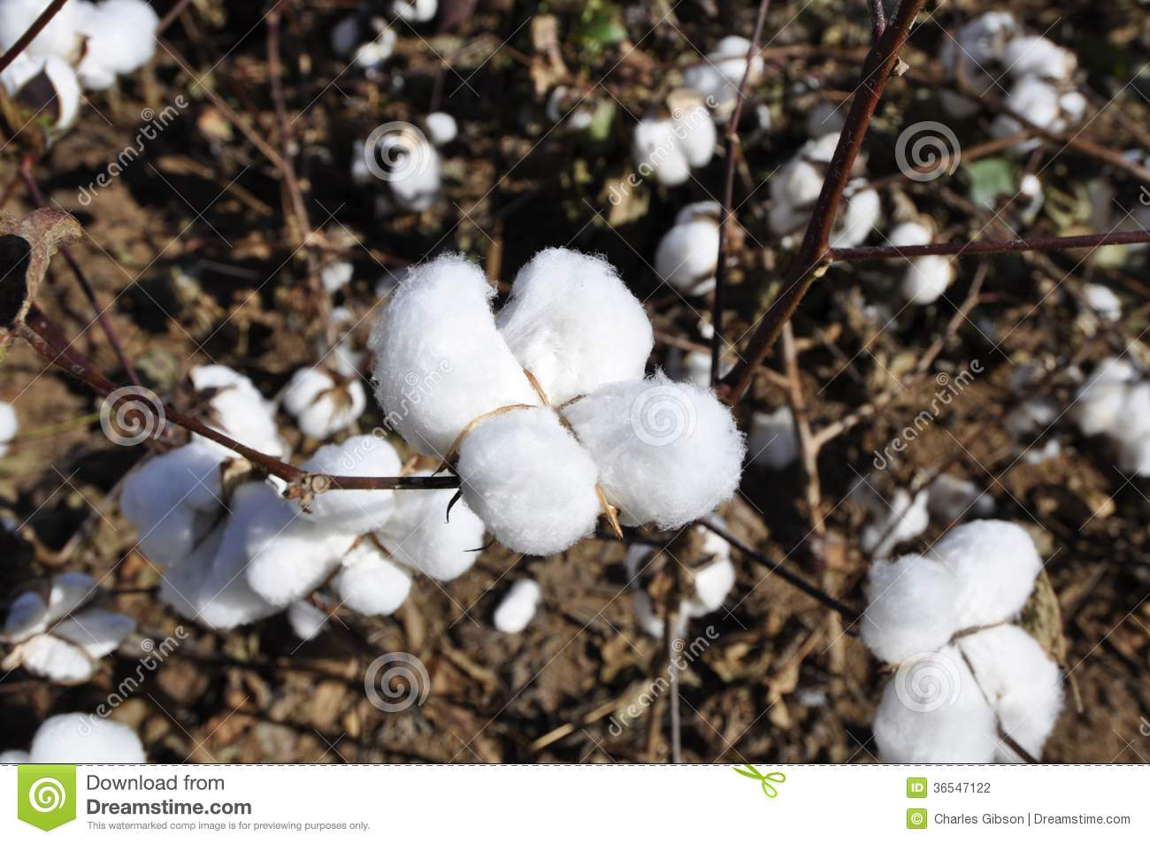 Cotton plants stock photo Image of product crop flora 36547122