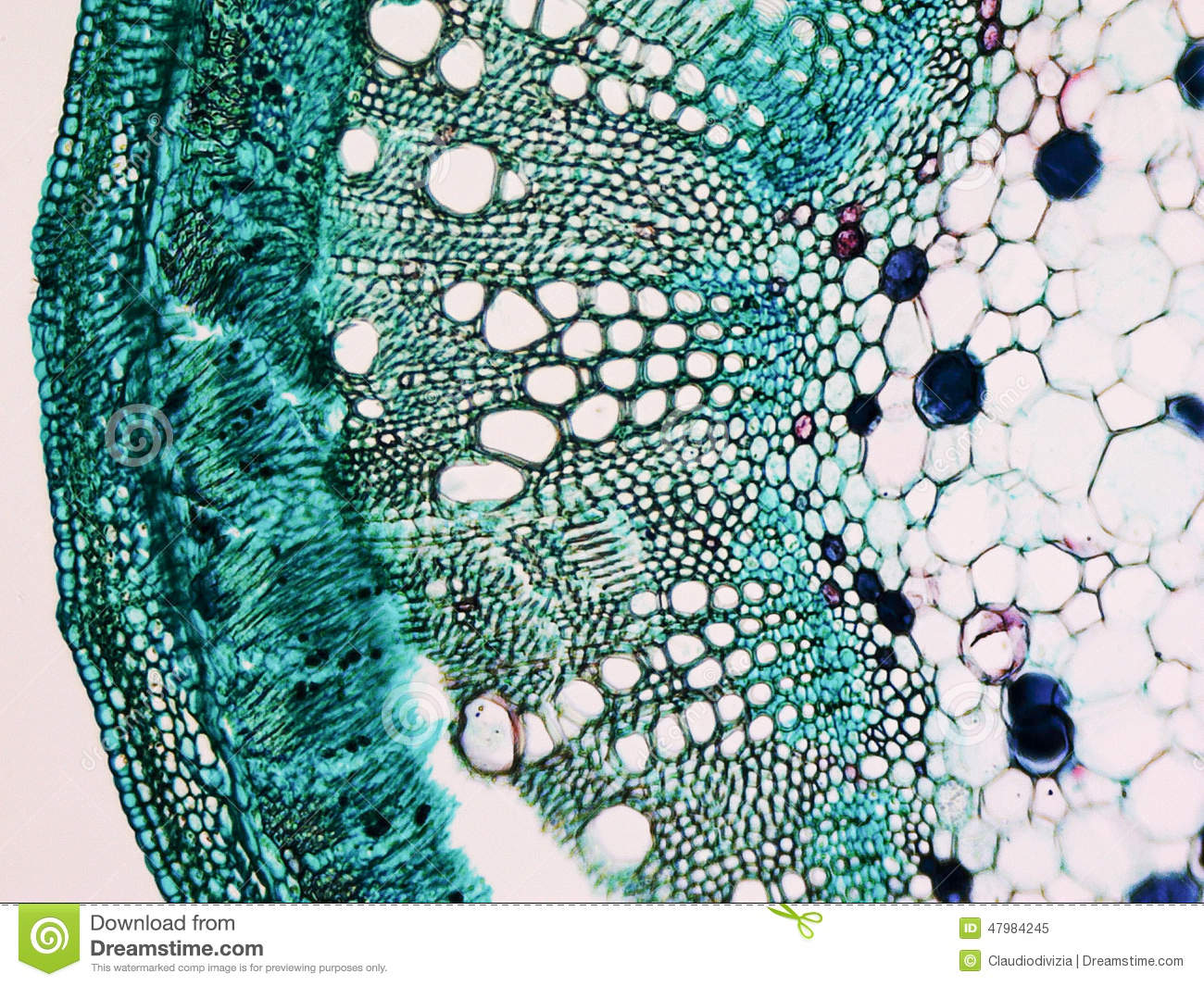 Cotton stem micrograph