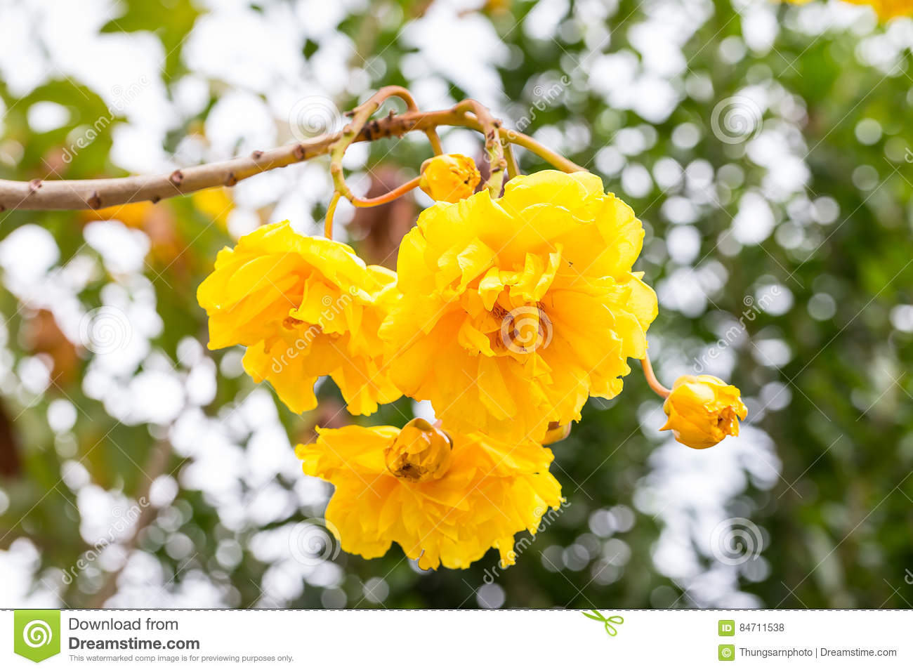 Cotton Tree Yellow Silk Cotton Butter Cup Flower Stock Photo