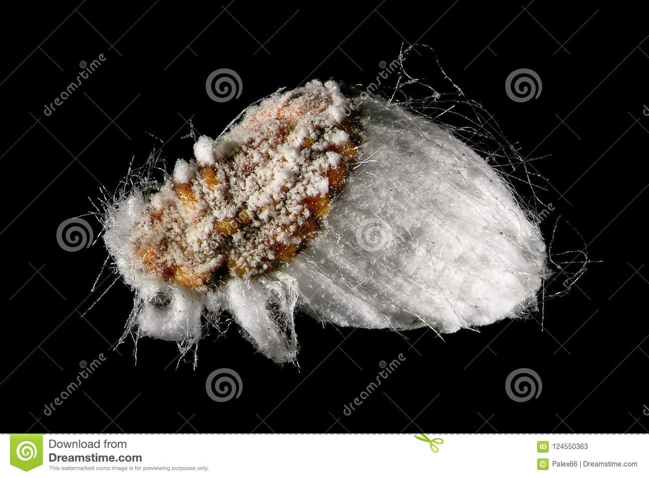 Cottony Cushion Scale Stock Image Image Of Wildlife 124550363
