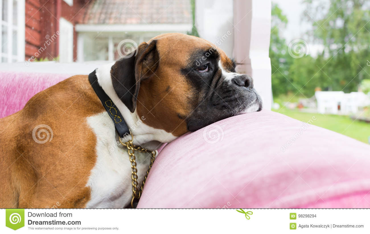 Couch Potato Bored Dog On A Pink Couch Stock Photo