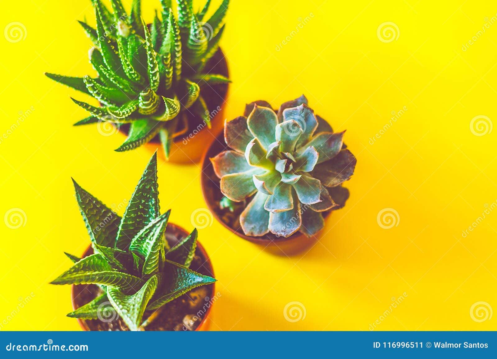 Couche plate de succulents
