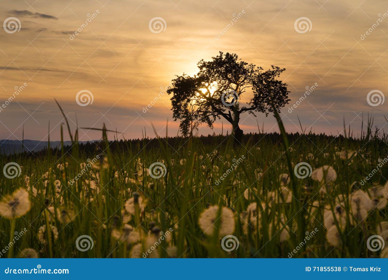 Coucher du soleil, arbre et pissenlits