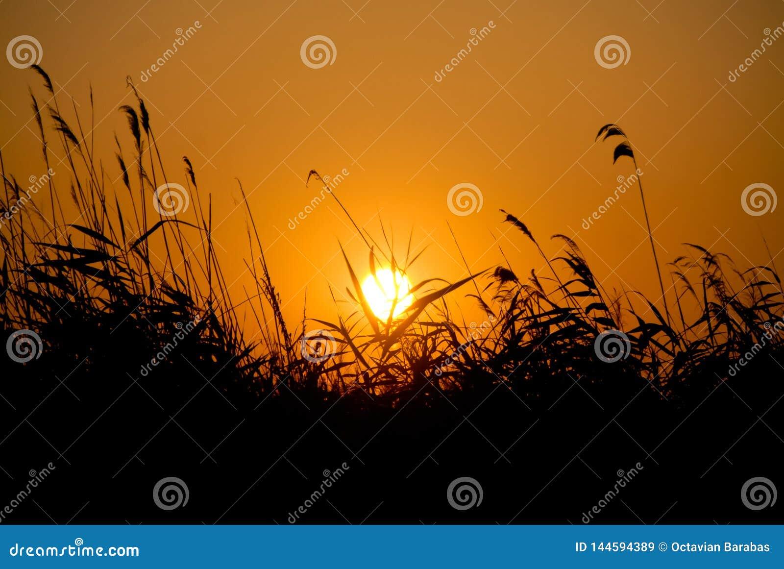Coucher du soleil au-dessus de champ tubulaire dans le delta du Danube