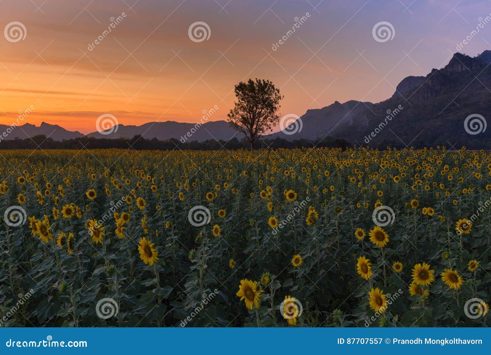 Coucher du soleil au-dessus de gisement de pleine floraison de tournesol